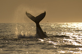 Humpback Whale (Megaptera novaeangliae) adult, offshore Port St. Johns Photographic Print by Colin Marshall