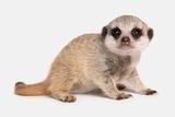 Meerkat (Suricata suricatta) juvenile, sitting Photographic Print by Chris Brignell