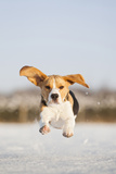 Domestic Dog, Beagle, adult, running on snow covered field Photographic Print by Simon Litten