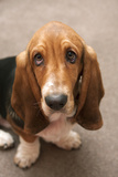 Domestic Dog, Basset Hound, puppy, close-up of head Photographic Print by Angela Hampton