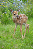 White-tailed Deer (Odocoileus virginianus) fawn, standing in meadow, Minnesota, USA Photographic Print by Jurgen & Christine Sohns