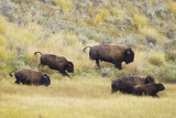 North American Bison (Bison bison) adult male, female, running in river valley floor Photographic Print by Bill Coster