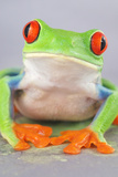 Red-eyed Treefrog (Agalychnis callidryas) adult Photographic Print by Emanuele Biggi
