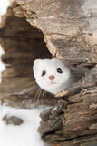 Stoat (Mustela erminea) adult, in 'ermine' white winter coat, Minnesota Photographic Print by Paul Sawer