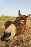Donkey, adult, close-up of head, Lanzarote Stampa fotografica di Winfried Wisniewski