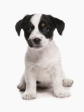 Domestic Dog, Jack Russell Terrier, puppy, sitting Photographic Print by Chris Brignell