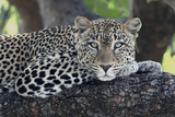 Leopard (Panthera pardus) adult, laying on branch, Samburu, Kenya Fotografisk tryk af Martin Withers
