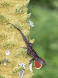 Brown Anole (Anolis sagrei) introduced species, adult male, flashing throat fan Photographic Print by Edward Myles