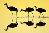 Sandhill Crane (Grus canadensis) three, Bosque del Apache National Wildlife Refuge Reprodukcja zdjęcia autor Bill Coster