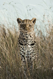 African Leopard (Panthera pardus pardus) adult female, stalking in long grass, Masai Mara, Kenya Photographic Print by Elliott Neep