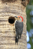 Red-bellied Woodpecker (Melanerpes carolinus) adult male, at nesthole in tree trunk, Florida, USA Papier Photo par Edward Myles