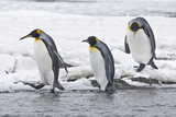 King Penguin (Aptenodytes patagonicus) three adults, on snow, walking into stream, Right Whale Bay Photographic Print by Dickie Duckett