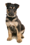 Domestic Dog, German Shepherd Dog, puppy, sitting Photographic Print by Chris Brignell