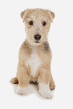 Domestic Dog, Lakeland Terrier, puppy, sitting Photographic Print by Chris Brignell