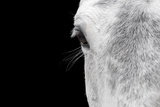 Horse, adult, close-up of head, eyelashes and eye Photographic Print by David Burton