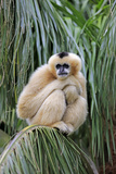 Northern White-cheeked Gibbon (Nomascus leucogenys) adult female, sitting on palm frond (captive) Photographic Print by Jurgen & Christine Sohns