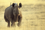 Black Rhinoceros (Diceros bicornis) adult male, charging, Etosha , Namibia Photographic Print by Andrew Forsyth