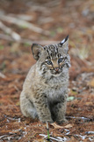 Bobcat (Lynx rufus) cub, sitting, Florida, USA Photographic Print by Edward Myles