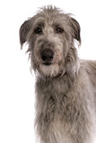 Domestic Dog, Deerhound, adult, close-up of head Photographic Print by Chris Brignell