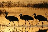 Sandhill Crane (Grus canadensis) three wading at sunrise, Bosque Del Apache, New Mexico, USA Reprodukcja zdjęcia autor Michael Callan