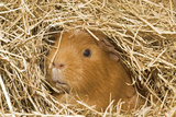 Guinea Pig (Cavia porcellus) adult, close-up of head amongst straw Photographic Print by Gary Smith