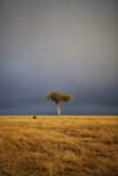 View of lone tree in grassland habitat with stormclouds, Ol Pejeta Conservancy, Kenya Photographic Print by Ben Sadd