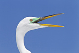 Great Egret (Casmerodius albus) adult, breeding plumage, close-up of head, with beak open Photographic Print by Kevin Elsby