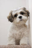 Domestic Dog, Shih Tzu, puppy, sitting on carpet at top of staircase Photographic Print by Angela Hampton