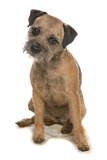 Domestic Dog, Border Terrier, adult, sitting Photographic Print by Chris Brignell