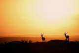 Impala (Aepyceros melampus) three adult males, silhouetted at sunset, Nairobi , Kenya Photographic Print by Ben Sadd