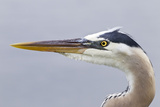 Great Blue Heron (Ardea herodias) adult, close-up of head, Florida, USA Photographic Print by Kevin Elsby