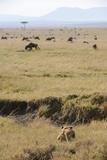 Lion (Panthera leo) adult female, hunting, Masai Mara Photographic Print by Shem Compion