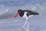 American Oystercatcher (Haematopus palliatus) adult, walking on shoreline, Florida, USA Photographic Print by Kevin Elsby