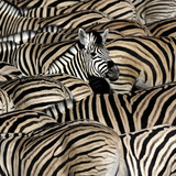 Common Zebra (Equus quagga burchellii) herd, with heads down drinking, Etosha Photographic Print by Martin Withers
