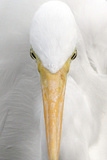 Great Egret (Casmerodius albus) adult, close-up of head, Florida, USA Photographic Print by Edward Myles