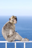 Barbary Macaque (Macaca sylvanus) adult, sitting on fence at top of rock, Gibraltar Fotografisk trykk av Andrew Forsyth