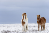 Horse, Icelandic Pony, two adults, standing on snow Photographic Print by Terry Whittaker