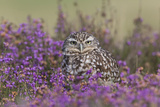 Little Owl (Athene noctua) adult, standing amongst flowering heather, Suffolk, England Photographic Print by Paul Sawer