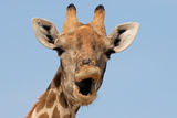 Giraffe (Giraffa camelopardalis) adult female, close-up of head, mouth open, Etosha Photographic Print by Malcolm Schuyl