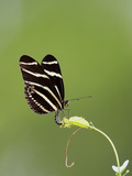 Zebra Longwing (Heliconius charitonius) adult, laying eggs on leaves, Florida, USA Photographic Print by Edward Myles