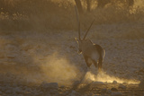 Gemsbok (Oryx gazella) adult, walking, kicking up dust in dry riverbed, backlit at sunset Photographic Print by Shem Compion
