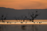 Migrant waders feeding in saline lagoon habitat, silhouetted at dusk, Salton Sea, California Photographic Print by David Tipling