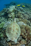 Green Sea Turtle (Chelonia mydas) adult, swimming over coral reef, near Komodo Island Photographic Print by Colin Marshall