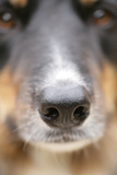 Domestic Dog, Border Collie, adult male, close-up of nose Photographic Print by Chris Brignell