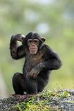 Chimpanzee (Pan troglodytes) young sitting, scratching Photographic Print by Jurgen & Christine Sohns