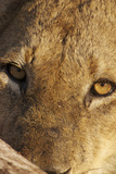 Lion (Panthera leo) feeding, close-up of head, Kruger , South Africa Photographic Print by Andrew Forsyth