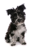 Domestic Dog, Tibetan Terrier, puppy, sitting Photographic Print by Chris Brignell