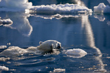 Polar Bear (Ursus maritimus) adult, swimming amongst melting ice, Austfonna, Nordaustlandet Photographic Print by Jules Cox