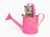 Domestic Cat, Exotic Shorthair, kitten, sitting in pink watering can Photographic Print by Chris Brignell