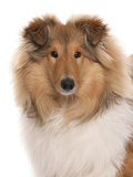 Domestic Dog, Rough Collie, puppy, close-up of head Photographic Print by Chris Brignell